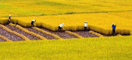 xem-hinh-anh-canh-dong-lua-chin-vang-dep-nhat-viet-nam-2015-11